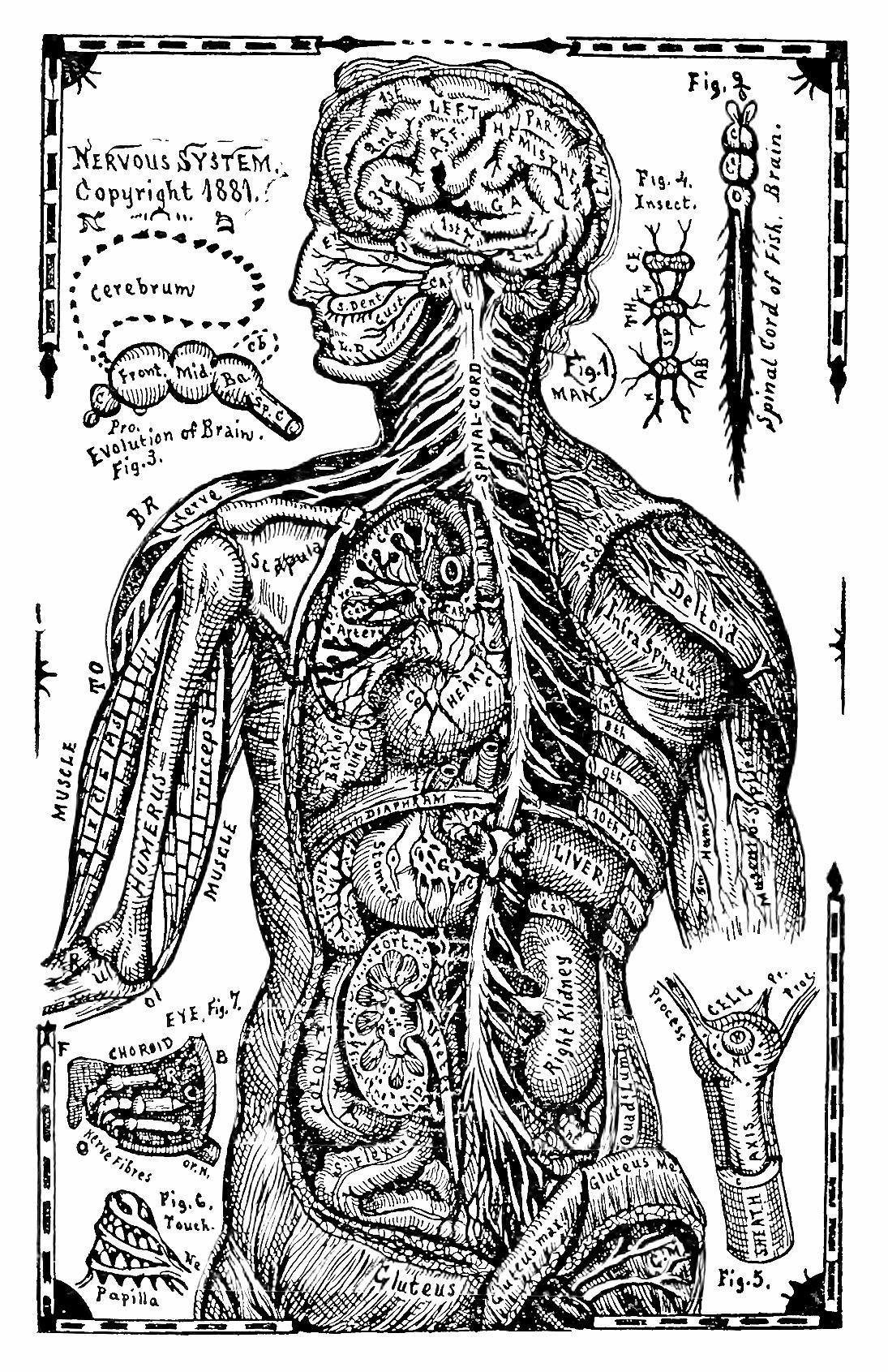 38_nervous_system.jpg