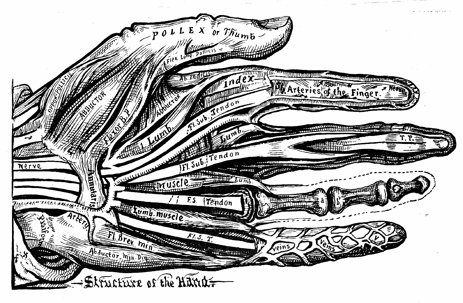 52_structure_of_the_hand.jpg